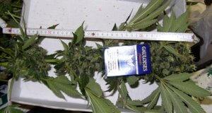 Bei der Marihuanaernte die eigene Sicherheit bedenken, es riecht