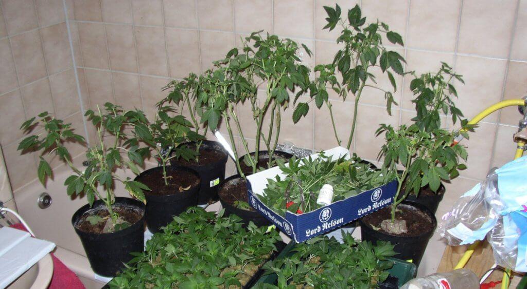 Mutterpflanzen gesund schneiden bedeutet, gute Stecklinge in 3 Wochen klein