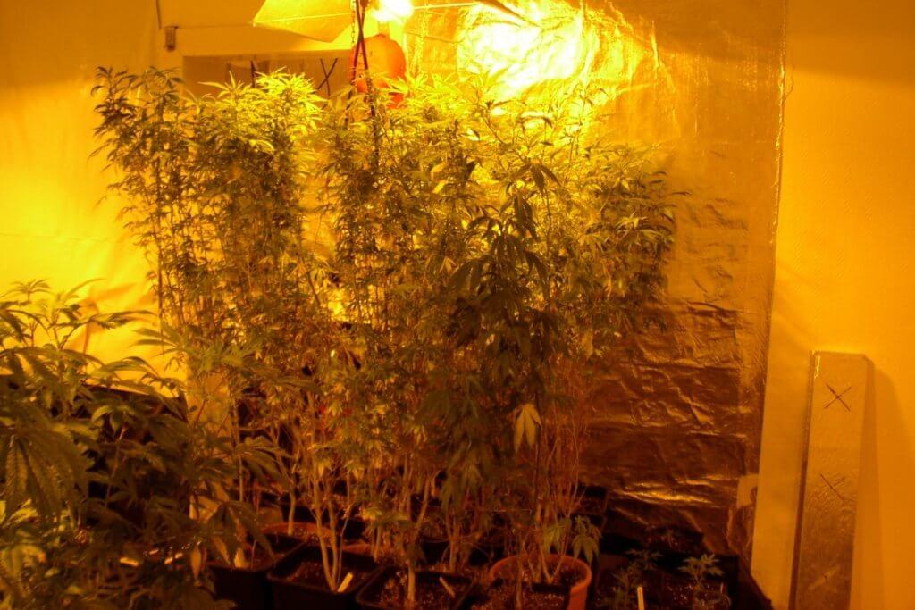 Licht ist nicht alles für das Mutterpflanzenklima