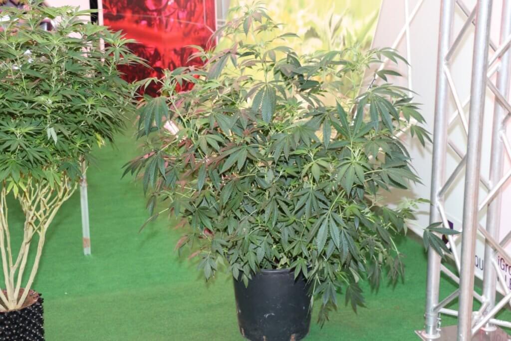 Marihuanasorte züchten oder Mutterpflanze suchen