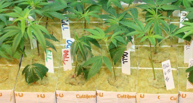 Noch sieht keiner, ob die Marihuanasorte gut ist