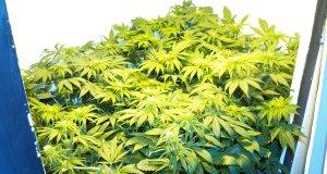 Welche Marihuanapflanze ist rein weiblich veranlagt?