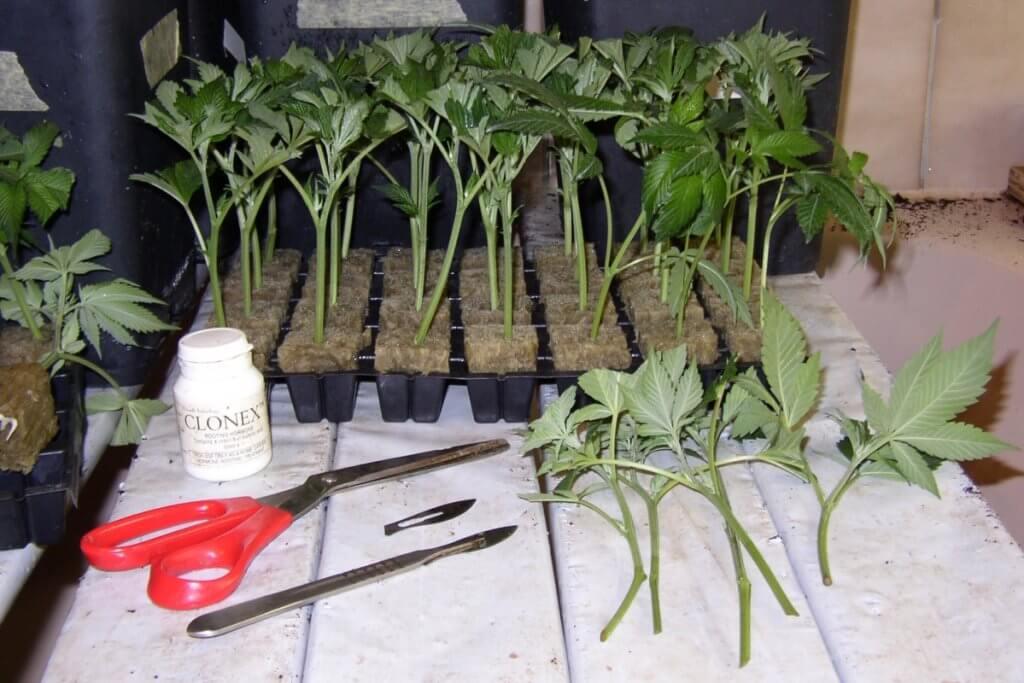 Feminisierte Marihuanasamen aus Stecklingen einer Mutterpflanze produzieren