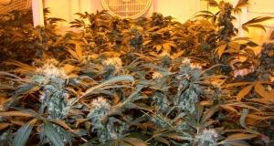 Anstelle der homogenen Marihuanasorte reicht auch eine Mutterpflanze für viele Stecklingspflanzen
