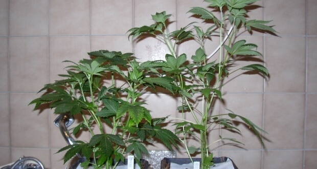 Auf der Suche nach einer guten Mutterpflanze