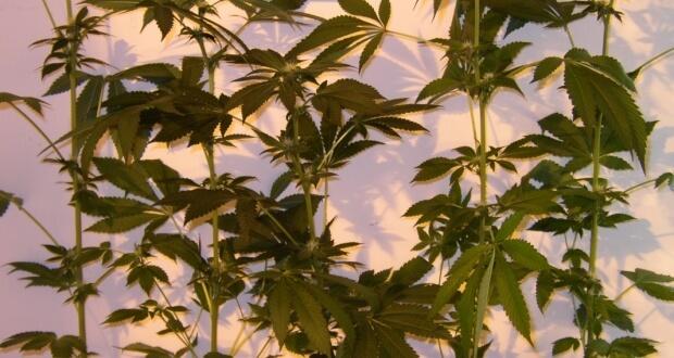 Gute Mutterpflanzen selektieren ist nicht ganz leicht