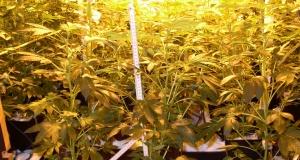 Homogene Marihuanasorte oder Stecklinge verwenden?