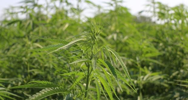 Keine Pflanze ist illegal