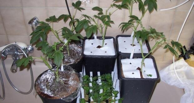Stecklinge schneiden und schauen, ob die Testpflanzen gut sind