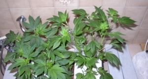 Wenn es den Marihuanapflanzen rundum gut geht