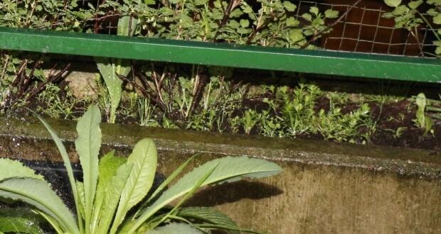 Langgriffliger Rosenwaldmeister nach dem einsetzen unter den Stachelbeeren