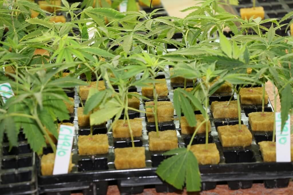 Wachsen auch ohne Cannabis Eigenanbauantrag ganz gut