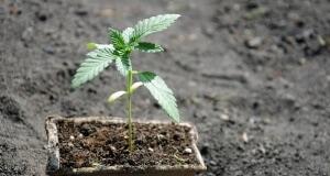 Was für Erde braucht Hanf, um gut zu gedeihen? Nicht jede ...
