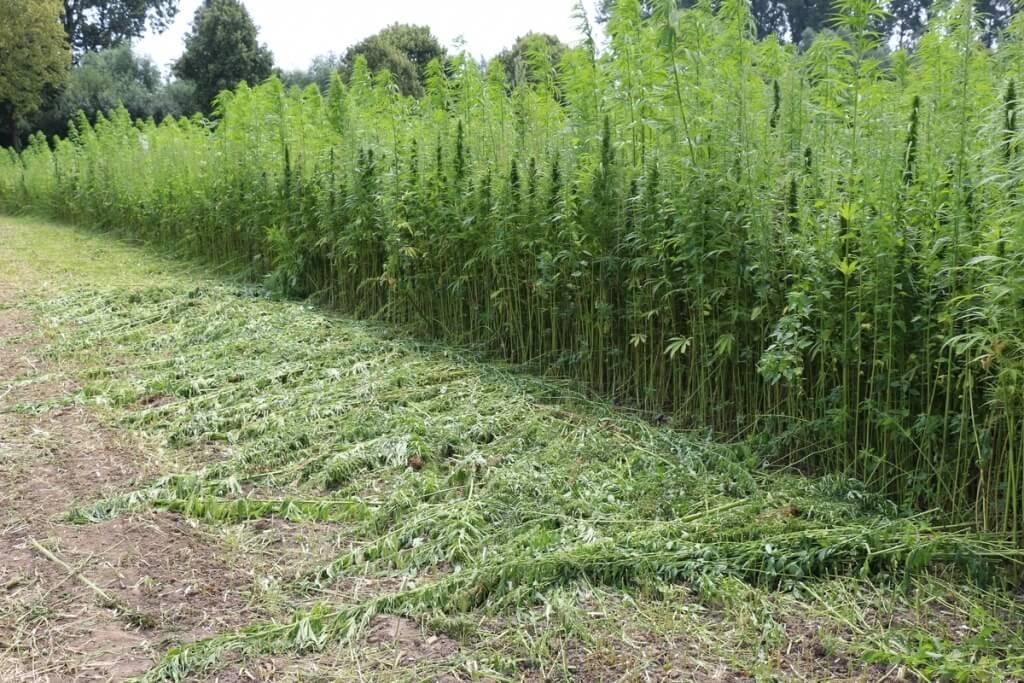 Immer nur ein paar Meter für die Hanftee Ernte abtrennen