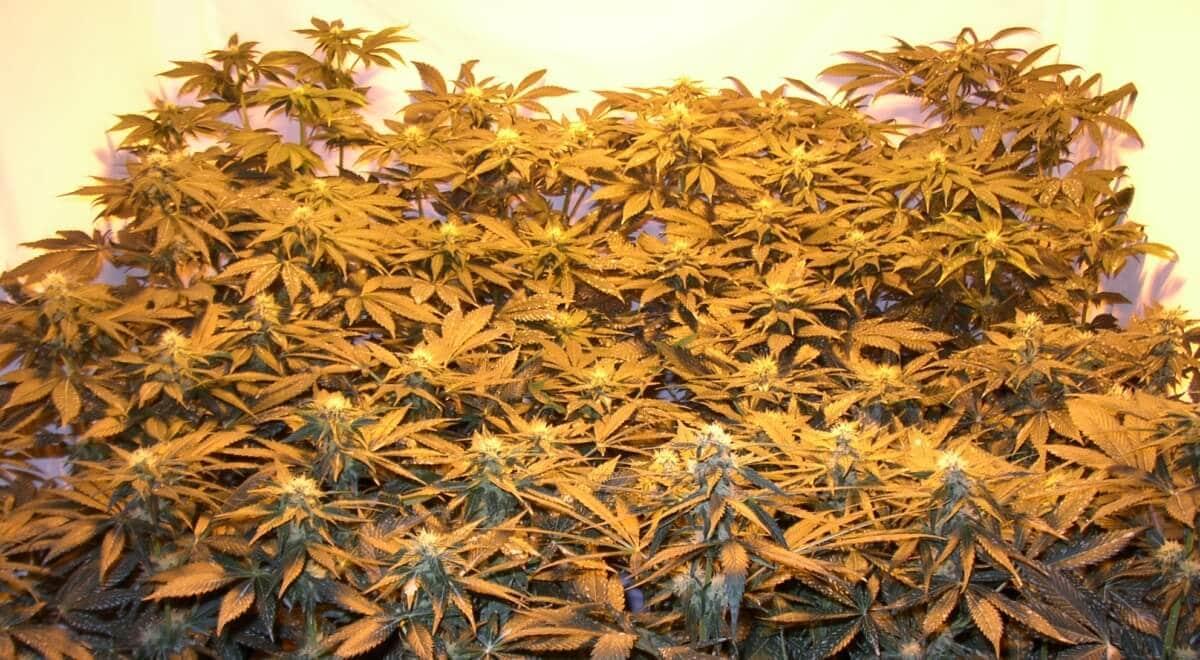 Marihuana macht schon beim Anbau und nicht erst danach Spaß