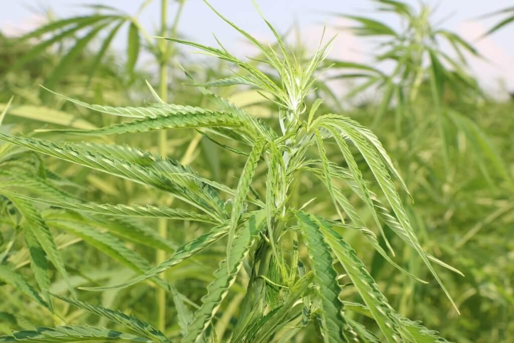 Thomas Fischer sieht derzeitige Cannabisverbote als gescheitert
