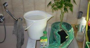 Die Pflanze baden