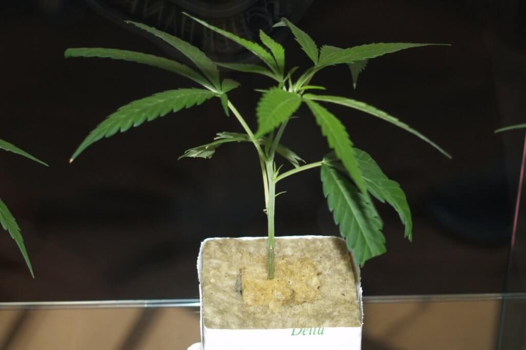 Marihuana Mangelerscheinungen gehen oft auf Wurzelprobleme zurück