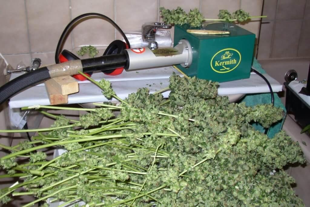 Diese Indoorpflanzen wuchsen alle auf die gewünschte Höhe, bei der Marihuanaernte wurden sie in Eins geerntet