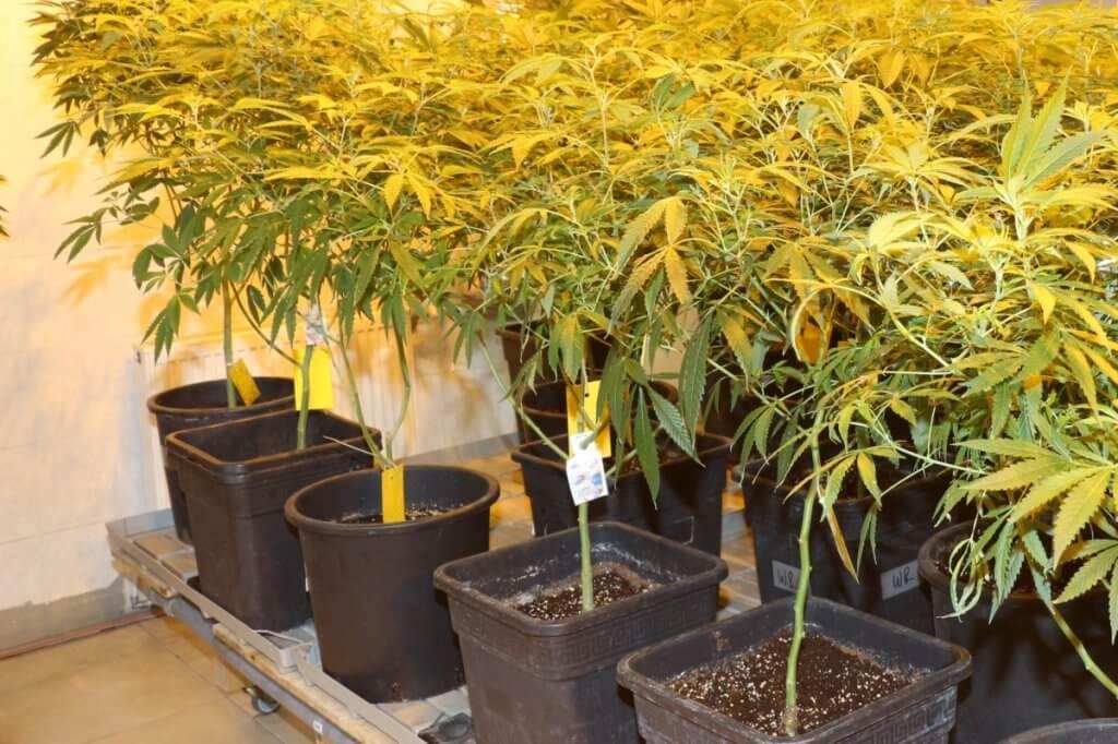 Mutterpflanzen hydroponisch gießen würde bedeuten, mit einem anderen Wurzelmedium und mit Gießanlage zu arbeiten