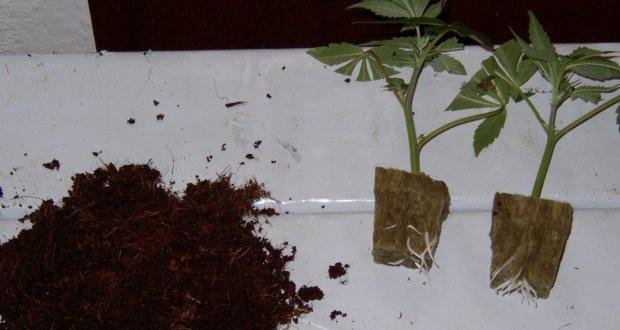 So viel Wurzeln sollen Stecklinge vor dem einpflanzen bereits haben