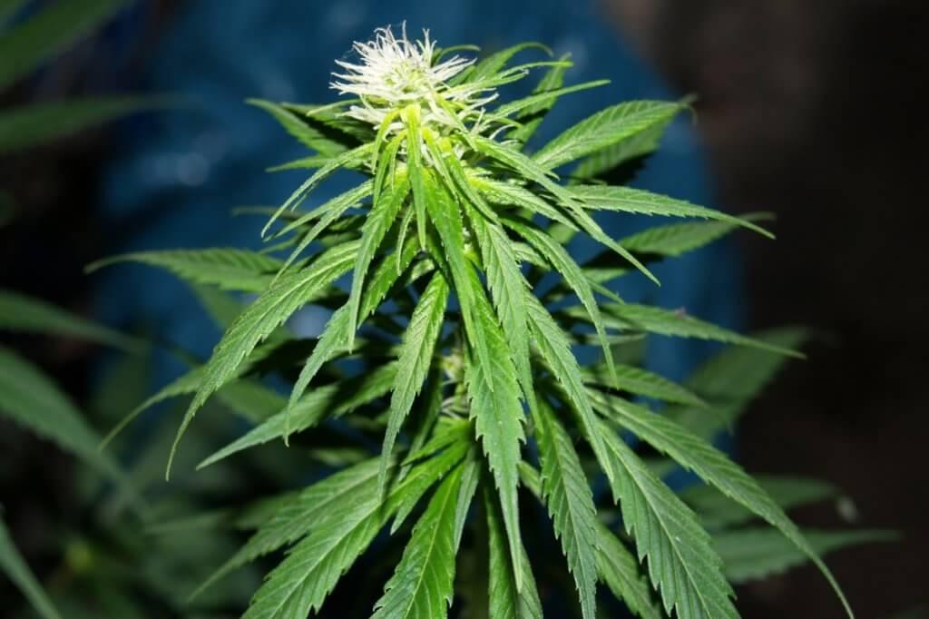 Viele schmale Blätter deuten auf hohen Sativaanteil hin