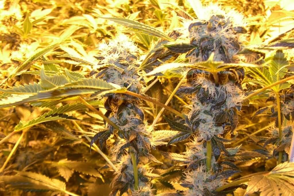 Die baldige Legalisierung wird immer absehbarer