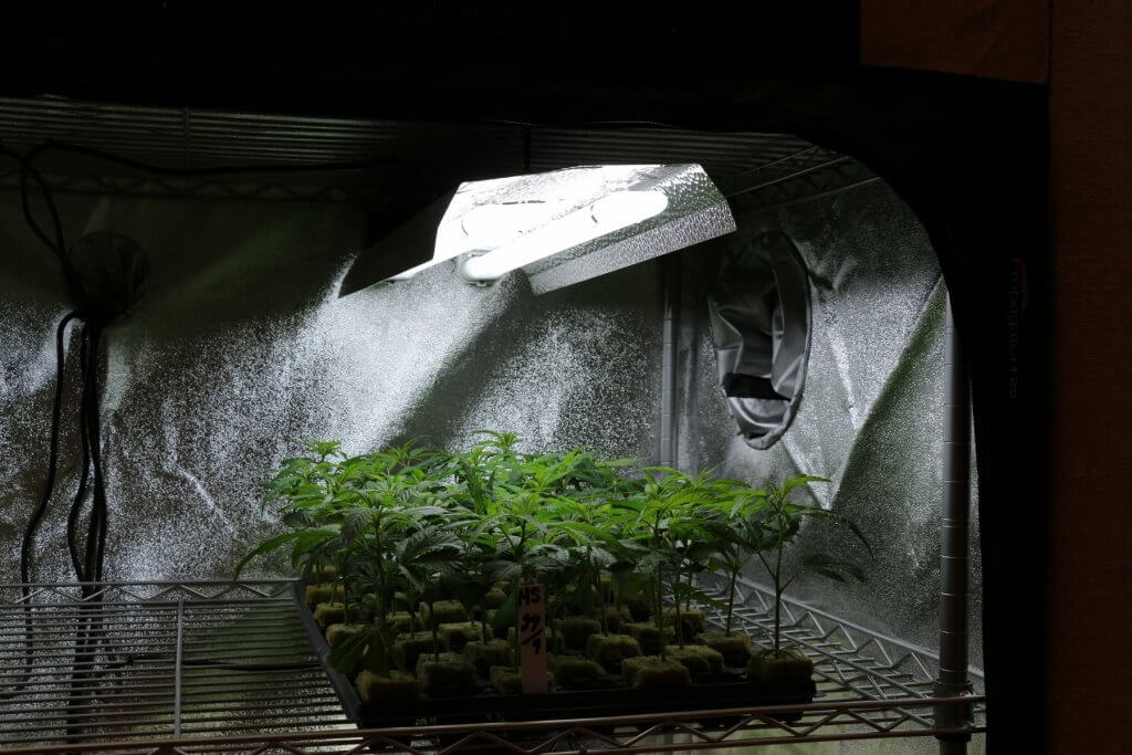 Die Lizenzvergabe für den Marihuanaanbau läuft mit viel zu kleiner Menge
