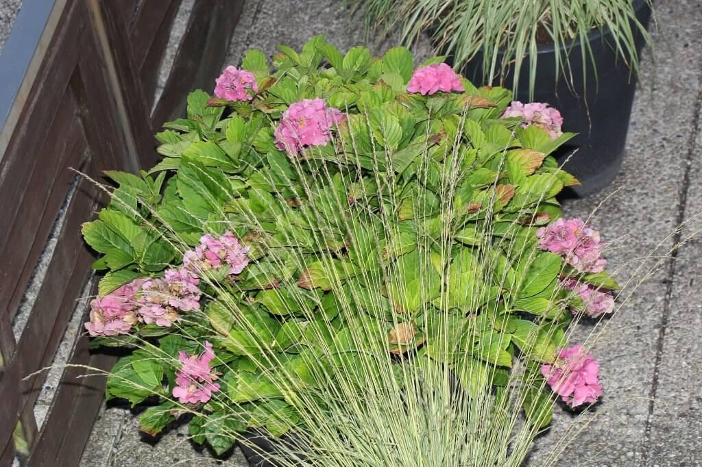 Hortensien rauchen führt zur Blausäurevergiftung