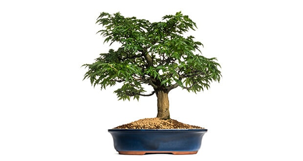 mit viel geduld zum eigenen marihuana bonsai marihuana growing hanf magazin. Black Bedroom Furniture Sets. Home Design Ideas