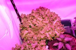 Vier Salatpflanzen