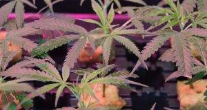 Unter Kunstlicht Marihuana anbauen
