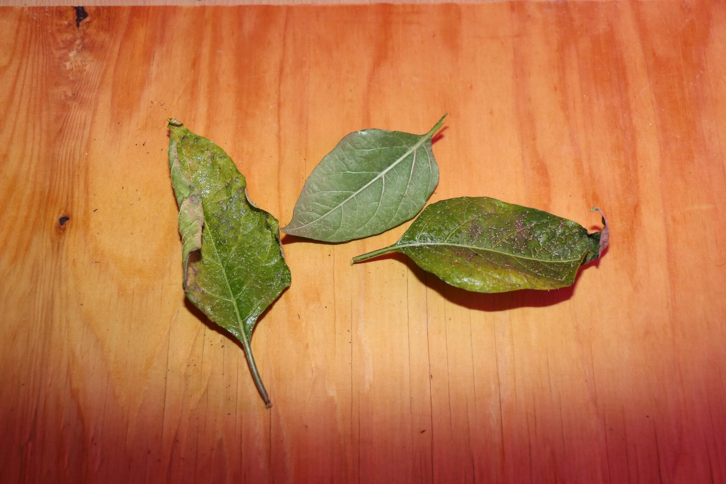 Befallene Chiliblätter