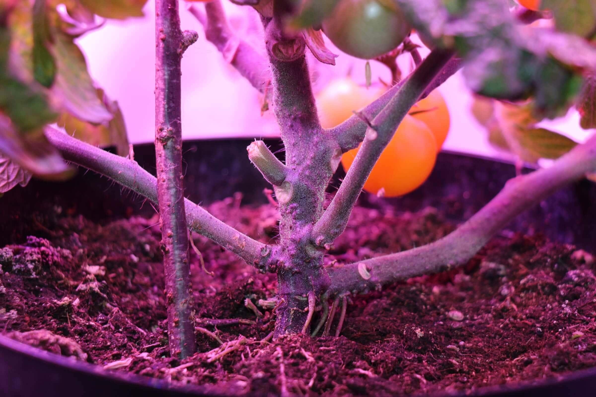 Der Tomatenstamm