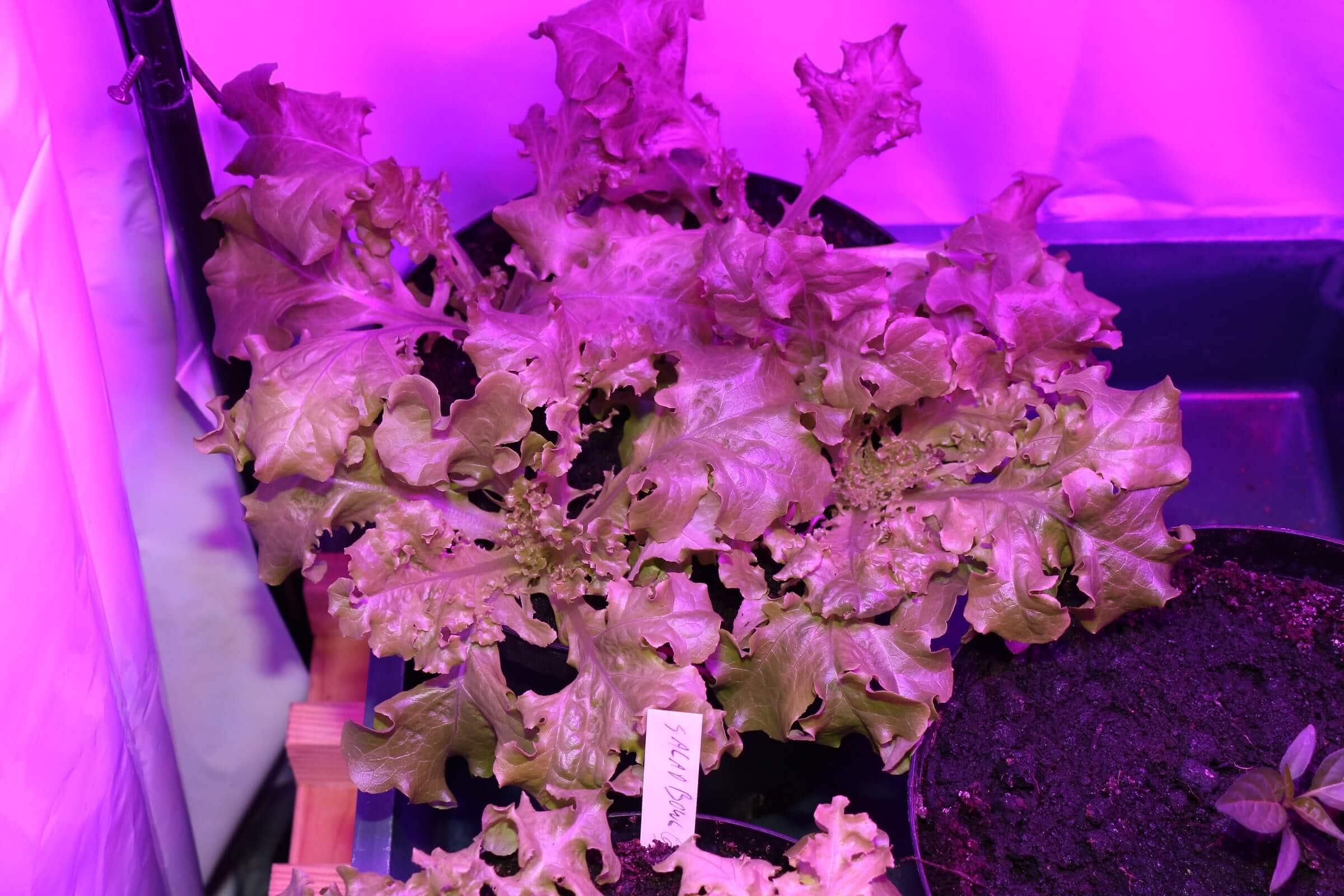 Der andere Salat hat schmale Blätter