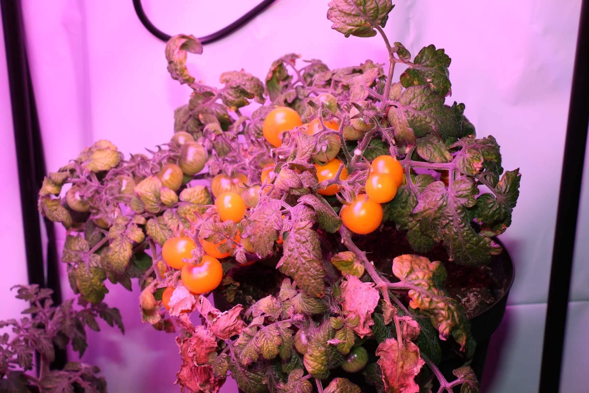 Die Tomaten reifen nach und nach