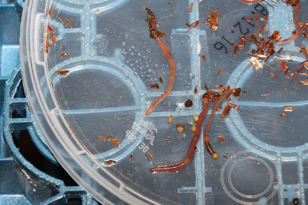 Die Würmer haben nun ihren Kokonring und bilden damit die kleinen Wurm-Kokons