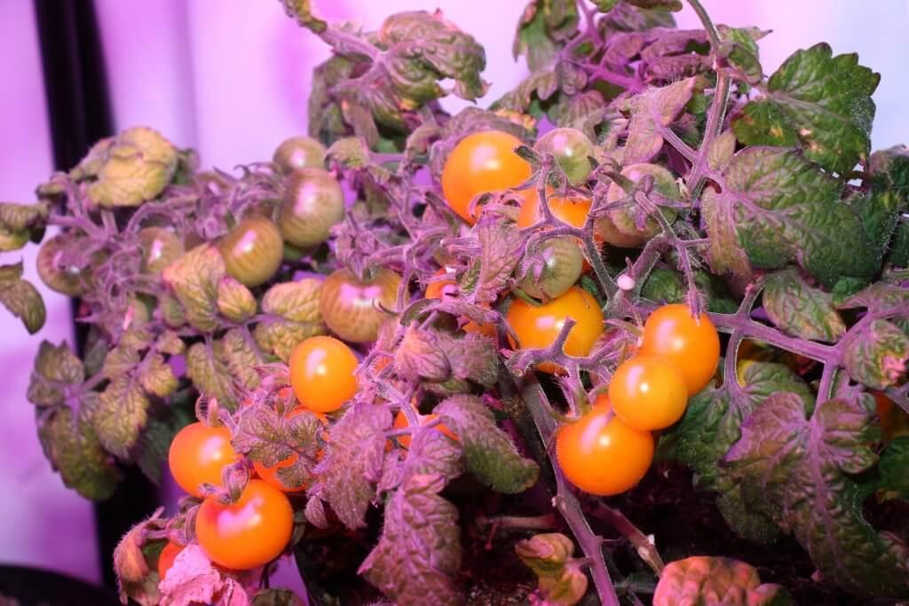 Die Wurmhumus Tomate bildet länger Früchte