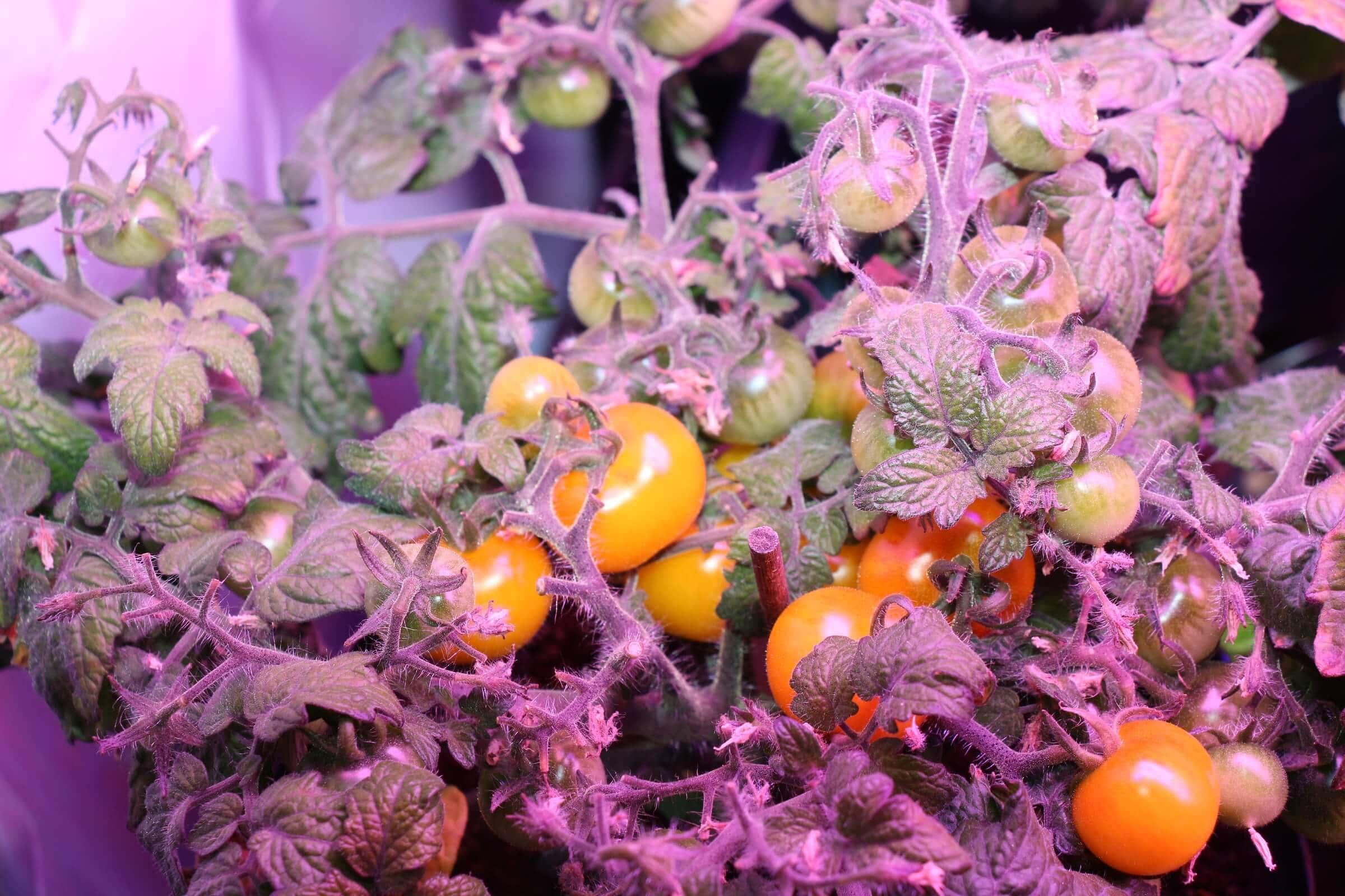 Eine andere Tomatenpflanze