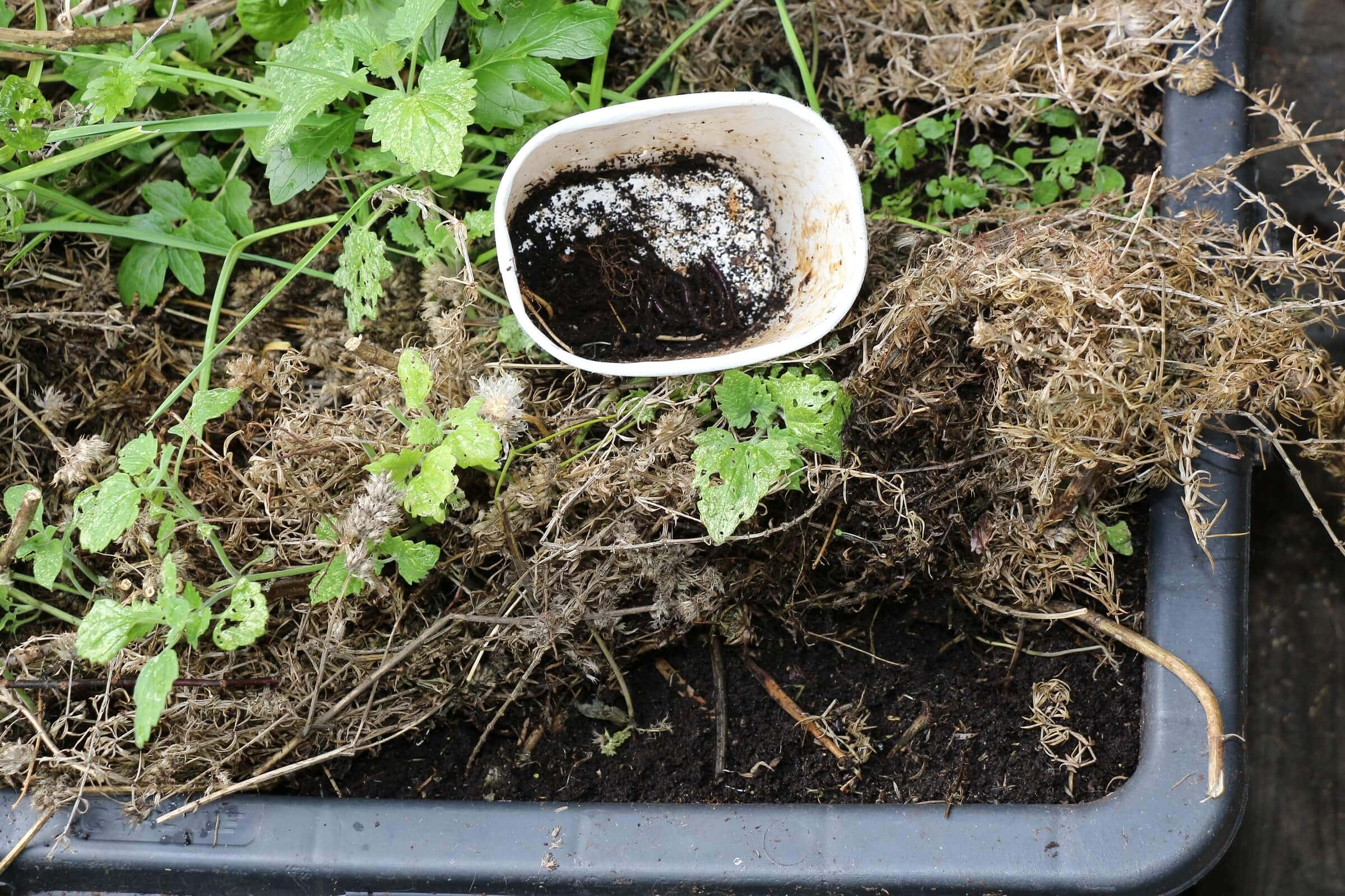 In der Outdoor-Mulch-Wurmfarm Würmer sammeln