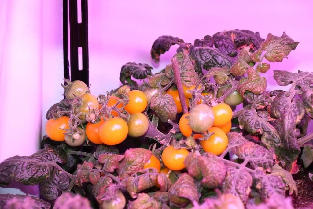 LED Blütetest - leider nur Tomaten, Salat und Chilis