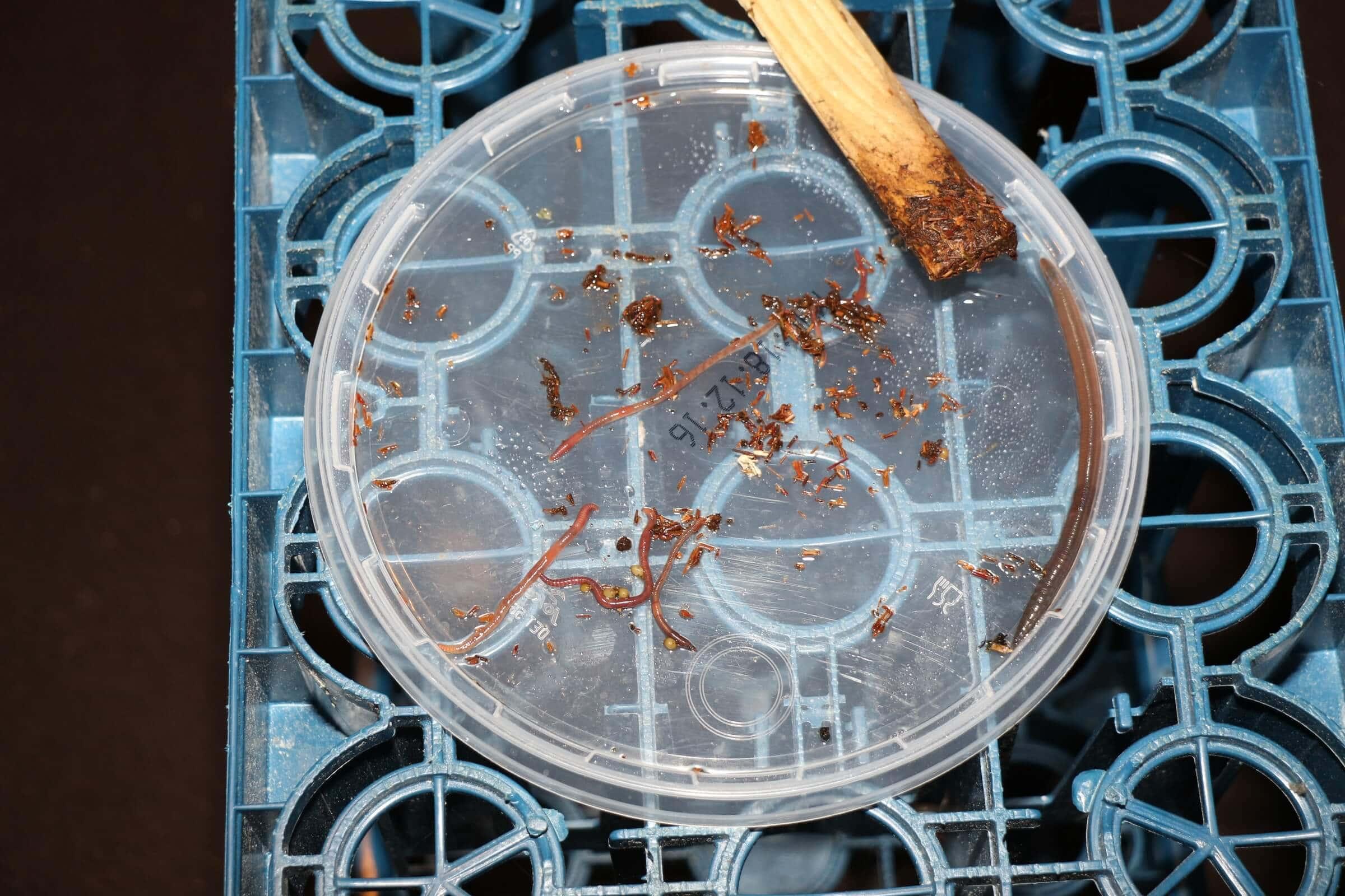 Mehrere Wurmarten leben über Monate in der Wurmfarm und bilden Kokons