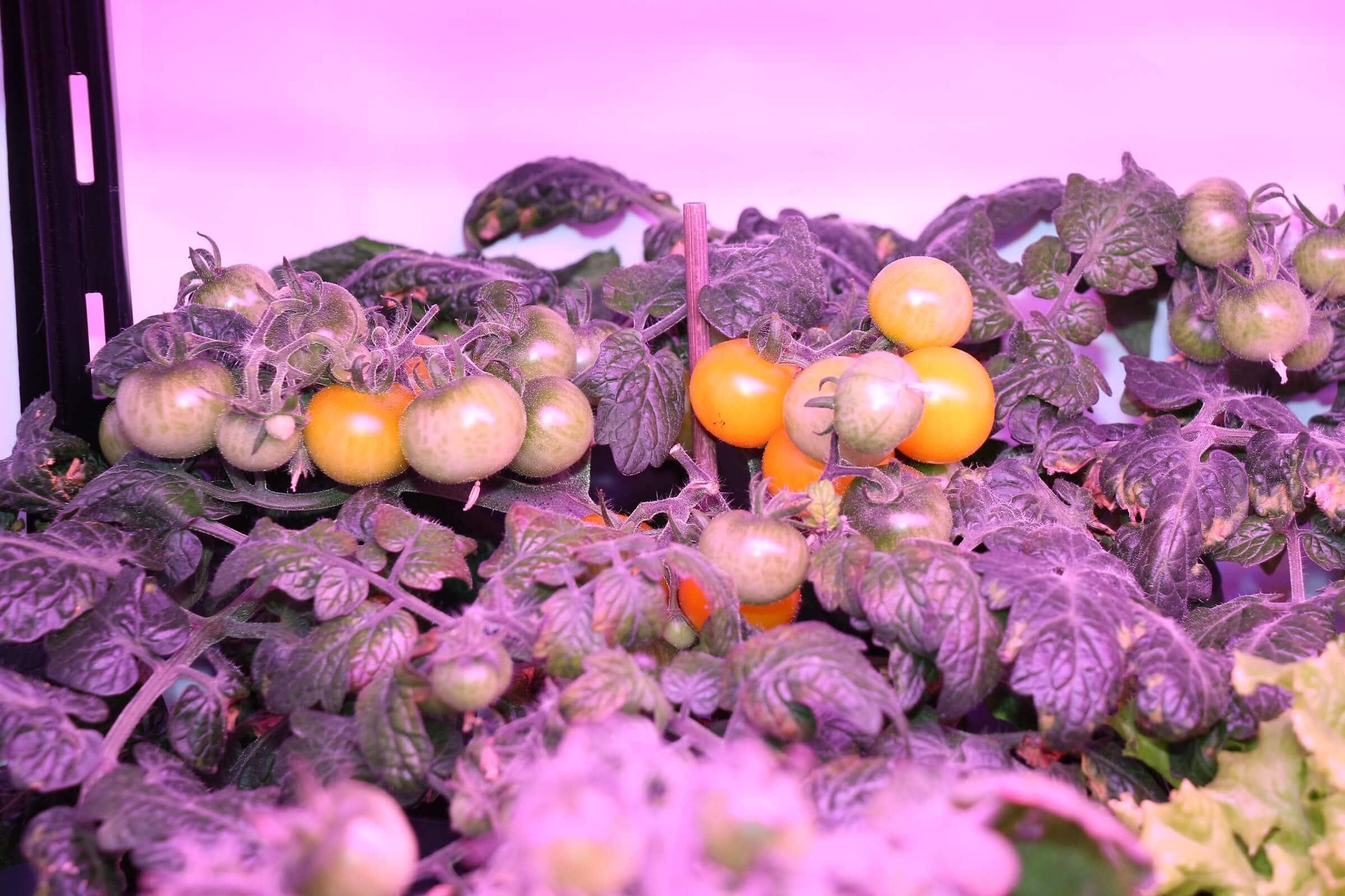 Reifende Tomaten der Wurmhumus Tomate