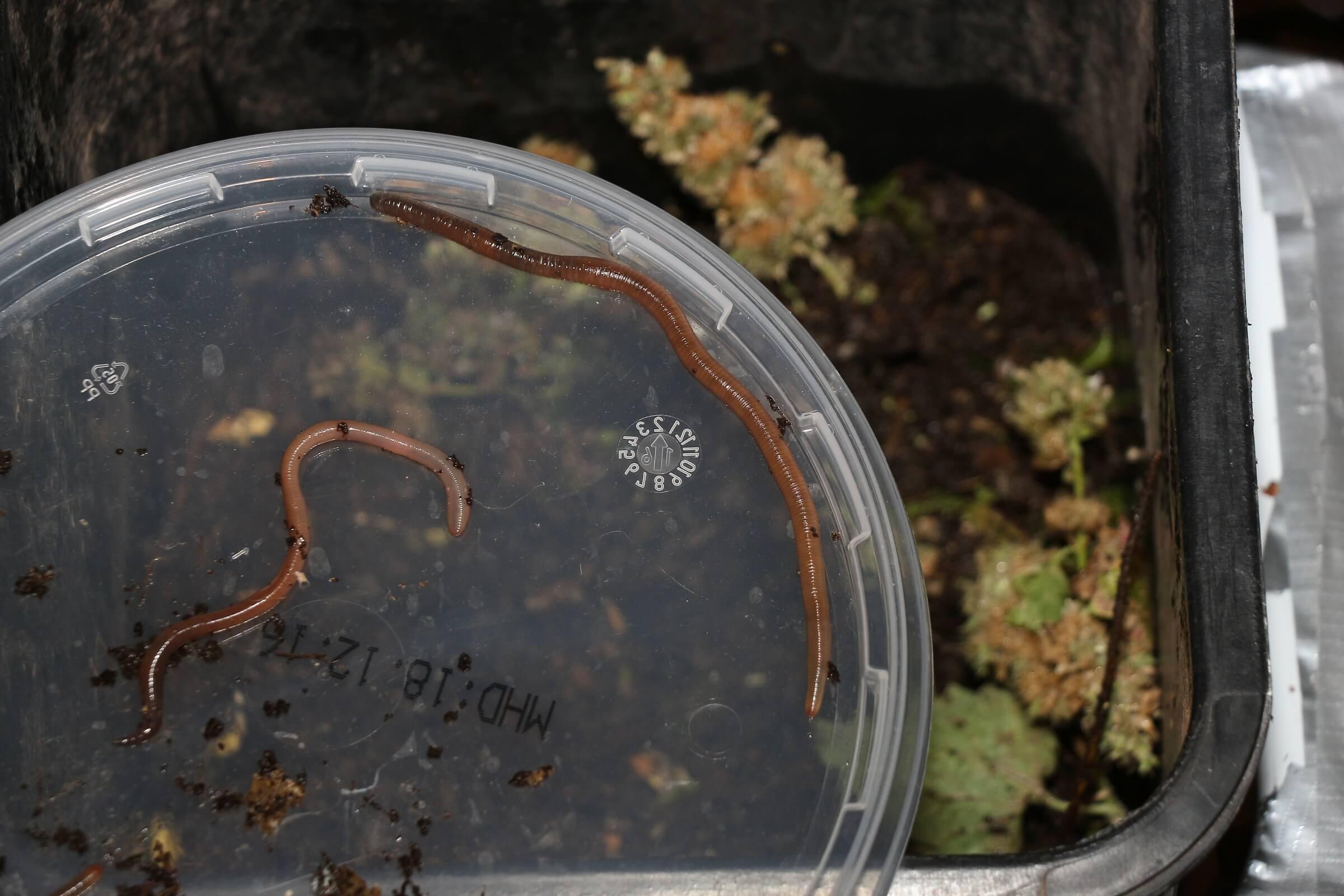 Verschiedene Gartenwürmer fressen sich so durch
