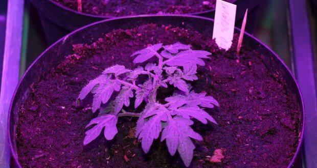 Vitale Tomate mit einem Drittel Wurmhumus in der normal gedüngten Blumenerde