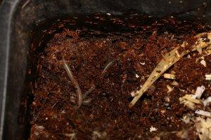 Würmer bilden gerne Wurmknäule