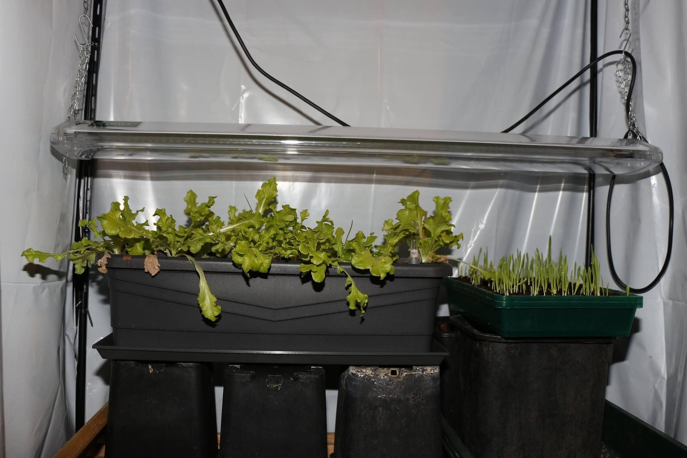 Wenige Tage später wirkt der Salat grüner