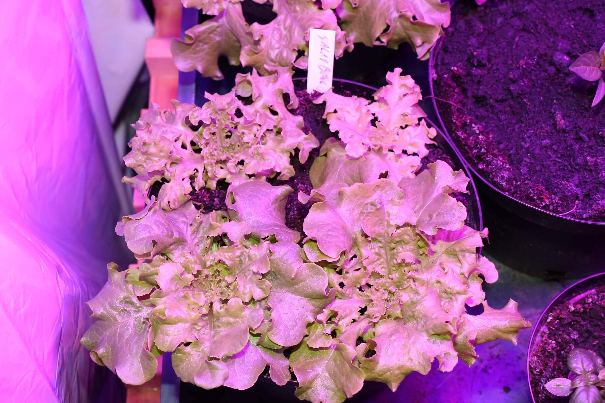 Wurmhumus Salat mit breiteren Blättern, zwei bleiben wegen dem Umtopfen zurück, einer davon geht ein
