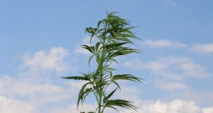 Exogene Cannabinoide pflanzlicher Natur - Cannabis