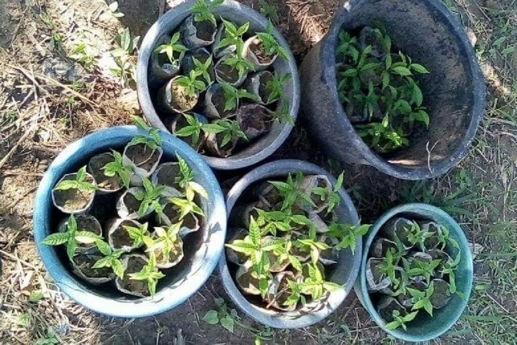 Viele kleine Iboga-Setzlinge gegen die Drogensucht